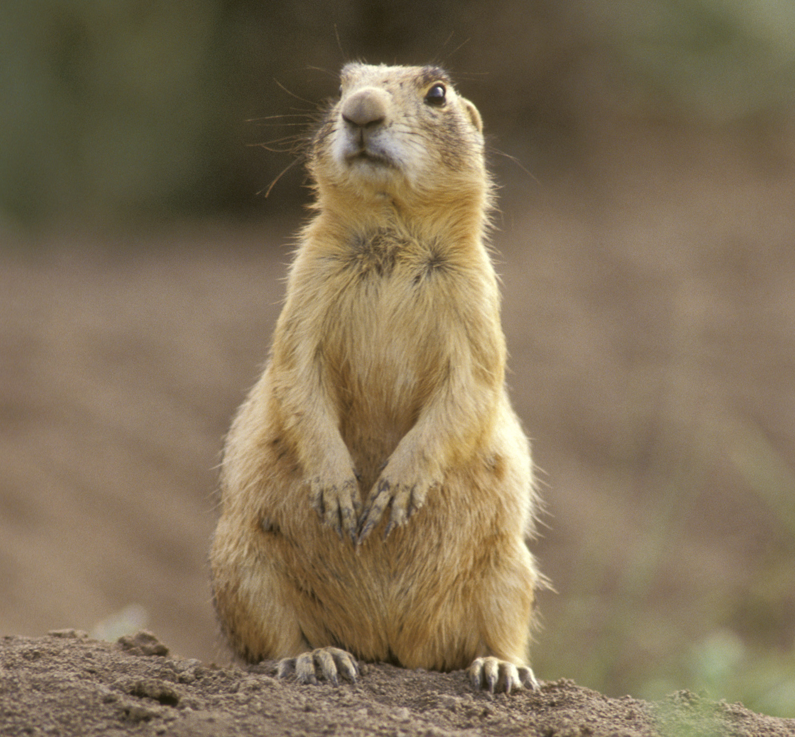 Utah Prairie Dog Recovery/Back From the Brink Program ...